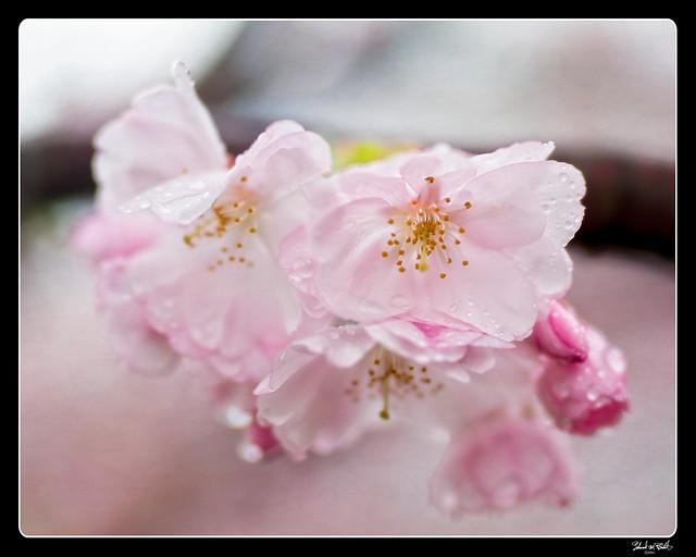 210411 Sakura 516 (color) - Flickr