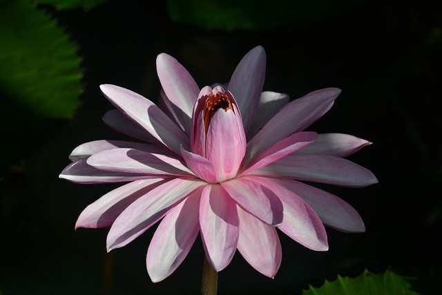 Pink Water lily is opening against black water