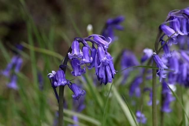 Common Bluebell (Hyacinthoides non-scripta)