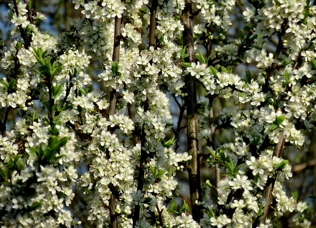 Mirabellenblüte