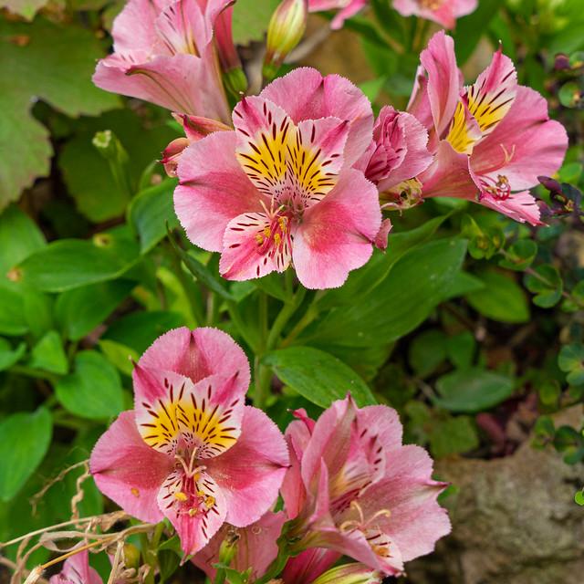 'Peruvian Lily' or 'Lily of the Incas' (Alstroemeria)