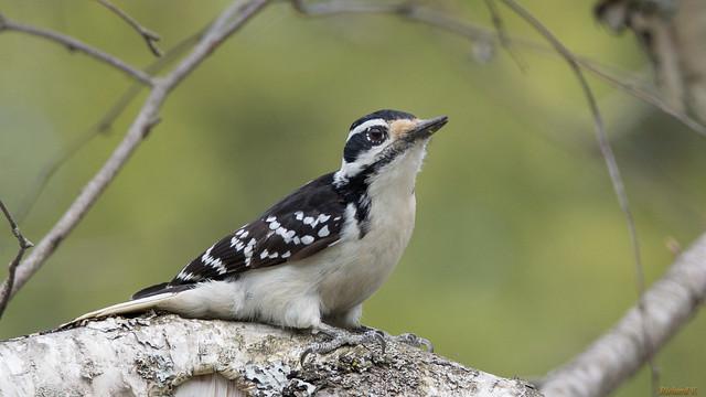 Pic chevelu - Hairy Woodpecker - PQ, Canada - 04969