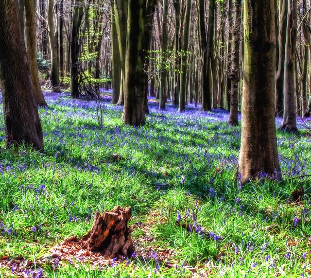bluebell wood shoreham4-