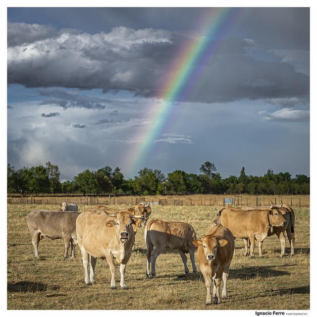 Cattle (Nunca te olvidaremos Ali G)