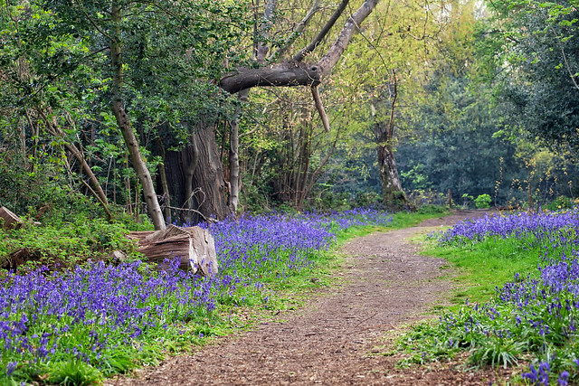 bluebell wood hawkwood1-