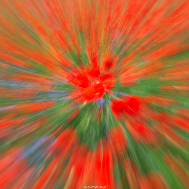 poppies explosion