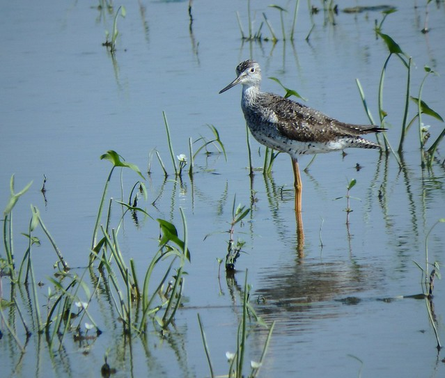 Lesser Yellowlegs (Tringa flavipes) - Mississippi River Fly Way