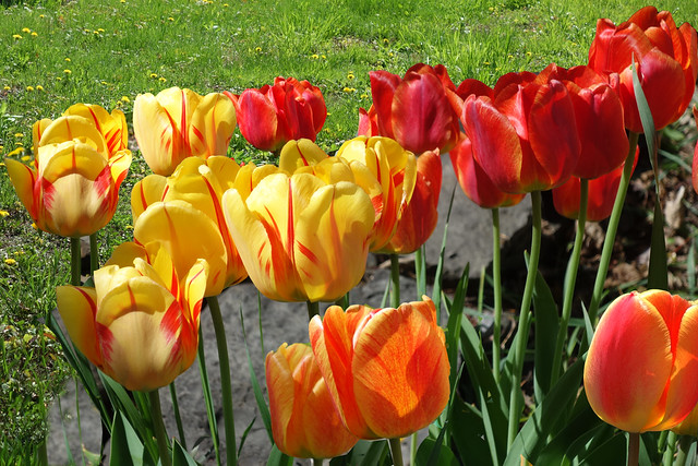 Back Yard Tulips