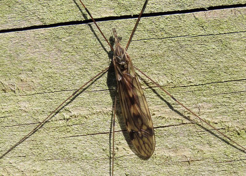 Tipula rufina