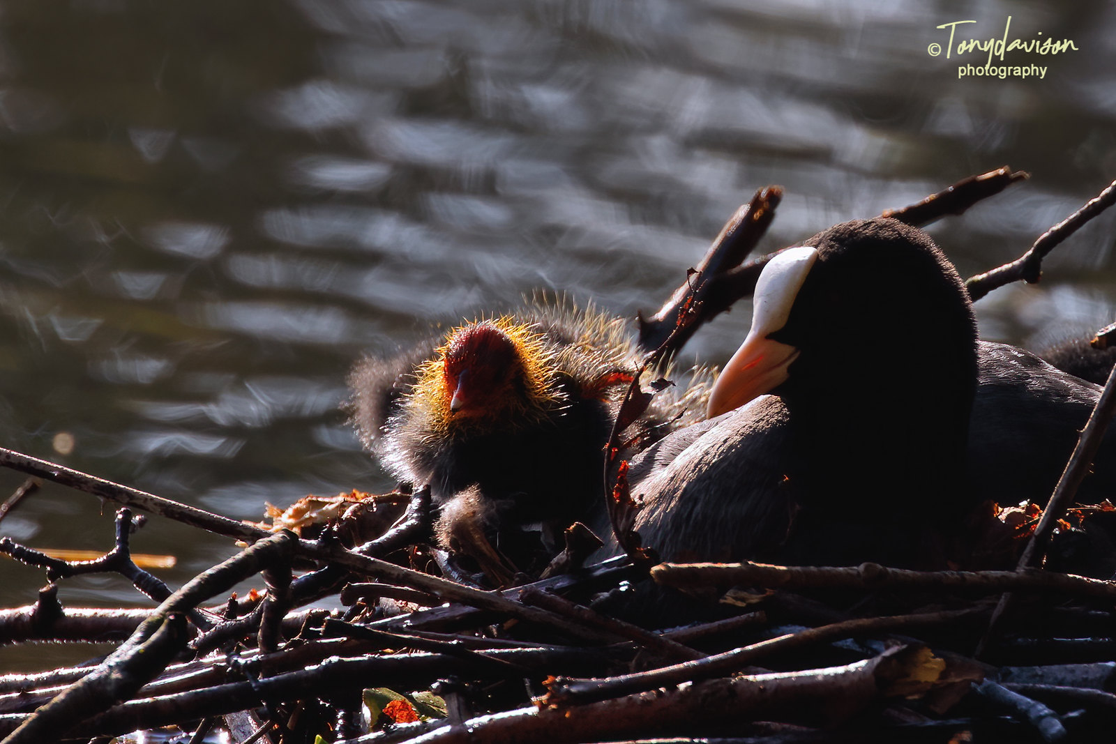 Coot - family