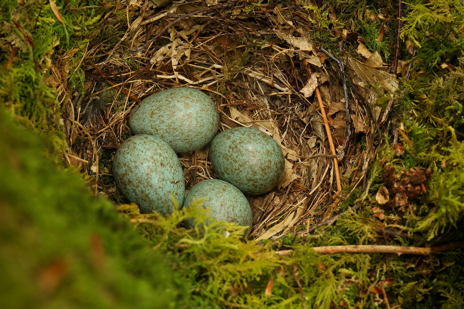 Blackbird Nest and Eggs, Abbot's Wood