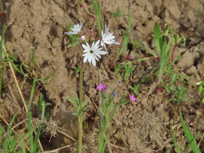 Small flower woodland star and slender phlox
