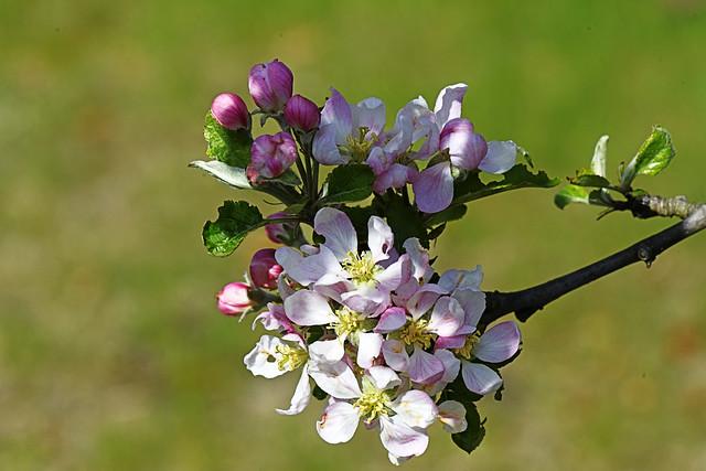 Biene und Apfelblüte