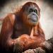"<p><a href=""https://www.flickr.com/people/154721682@N04/"">Joseph Deems</a> posted a photo:</p>  <p><a href=""https://www.flickr.com/photos/154721682@N04/51153069976/"" title=""Orangutan - Sumatran - female""><img src=""https://live.staticflickr.com/65535/51153069976_e4b603aaea_m.jpg"" width=""240"" height=""216"" alt=""Orangutan - Sumatran - female"" /></a></p>  <p>Fort Worth Zoo</p>"