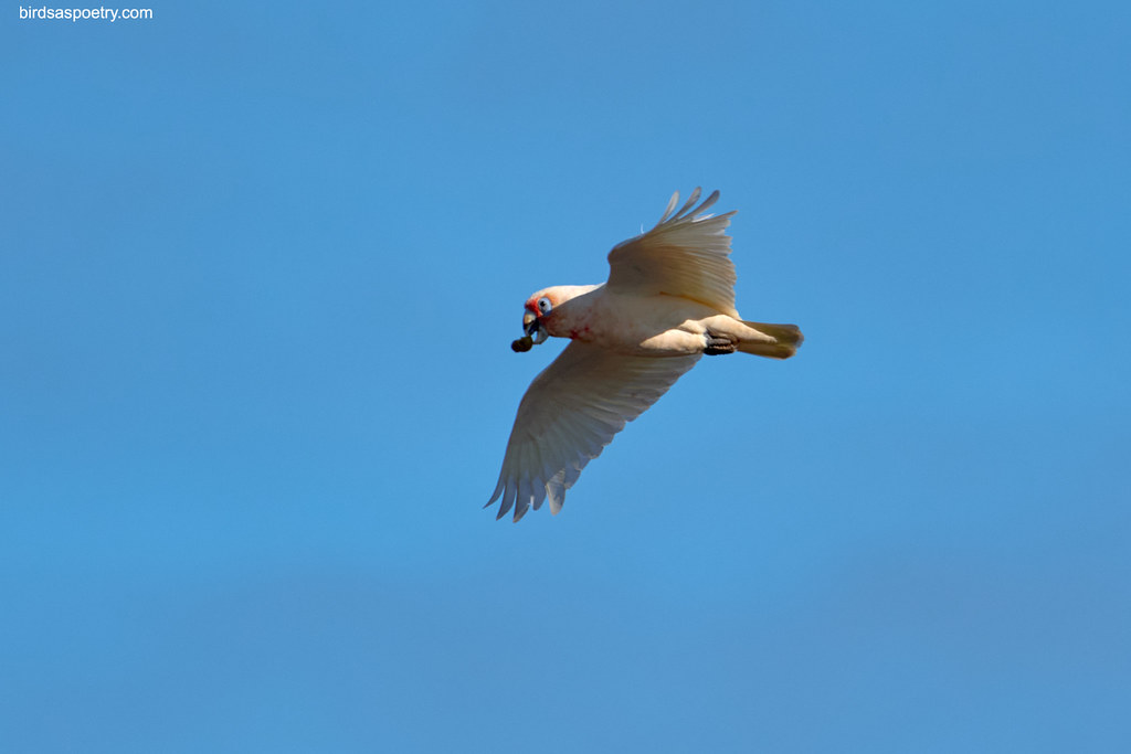 Long-billed Corella: Takeaway