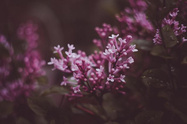 Pink Perfume Bloomerang Lilac 2021