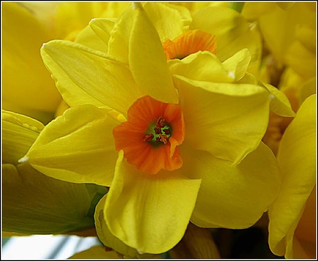 The Beautiful Daffodil Head ....