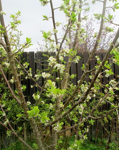 Plum Tree, garden