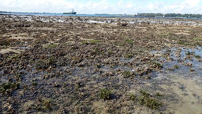 Branching montipora coral (Montipora sp.)