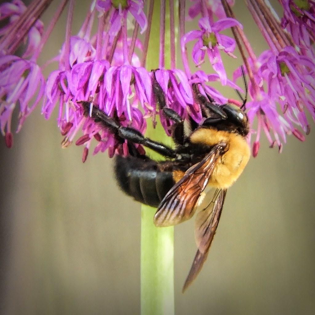 Wood Bee and Allium Flower