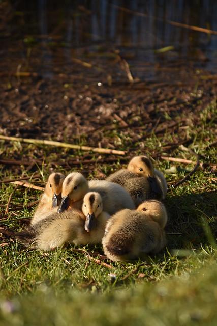 Bristol - Stoke Park - Ducklings