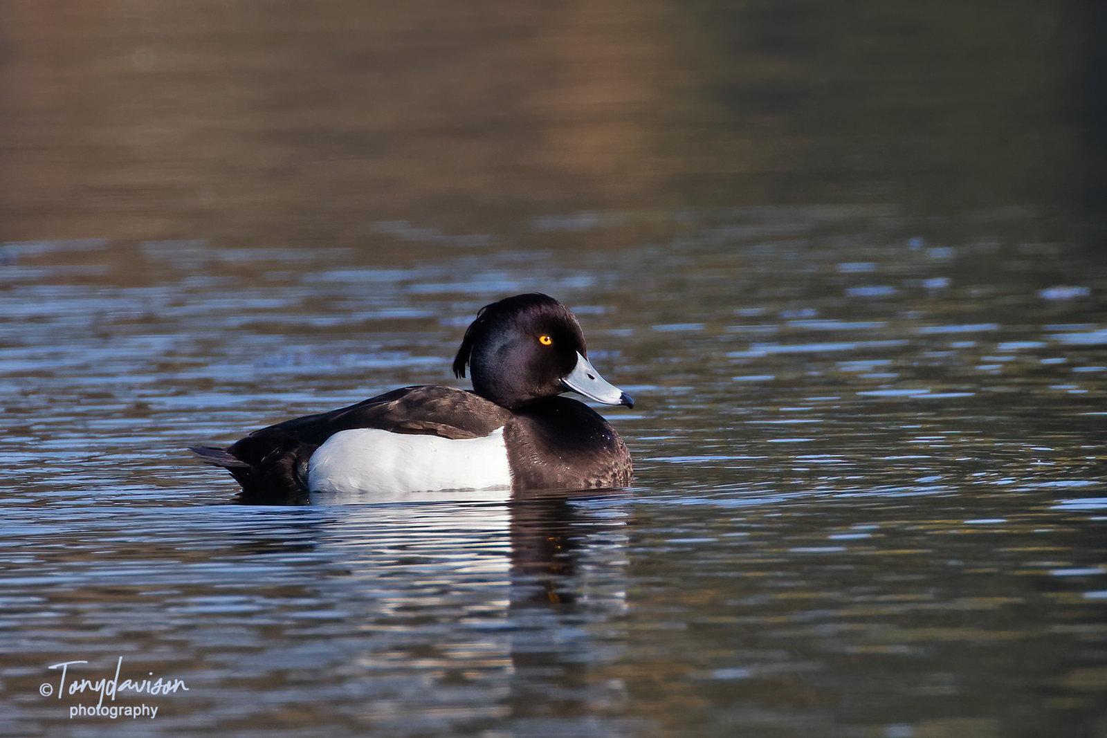 Tufted Duck - drake