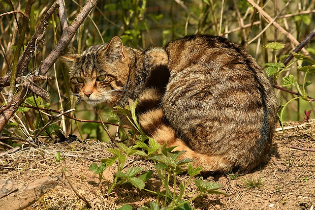 Scottish Wildcat (Felix sylvestris sylvestris)