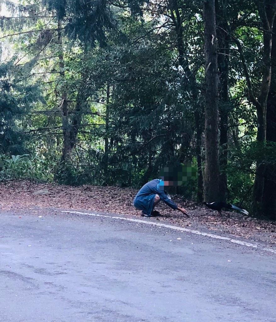 民眾在大雪山林道邊以饅頭屑餵食引誘藍腹鷴靠近,已觸犯野生動物保育法第42條第1項第1_67576