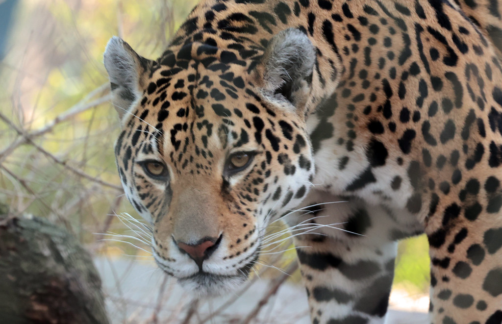 Jaguar Rica artis 9K2A1840