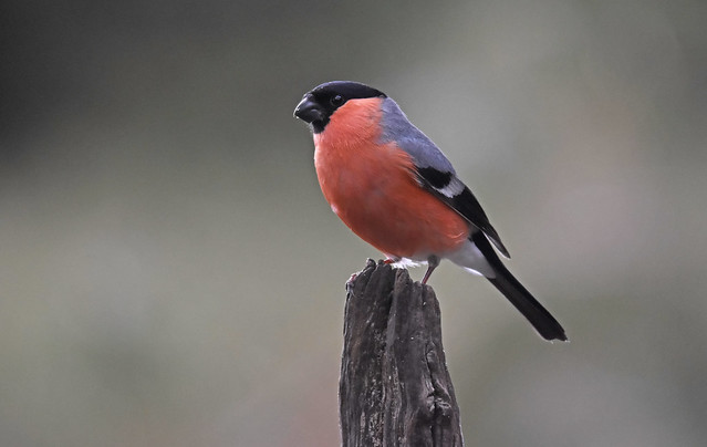Pyrrhula pyrrhula-Goudvink-Bullfinch