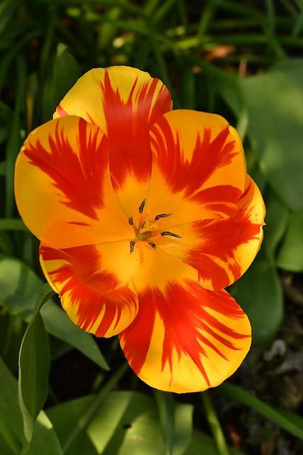 Tulip cultivar (Tulipa)