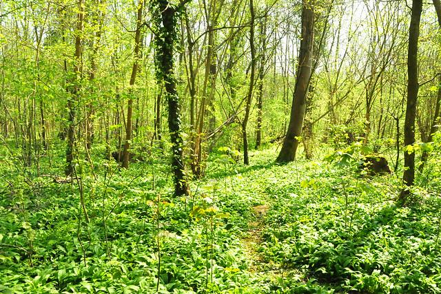 April 2021 ... Mannheimer Waldpark am Rhein_Bärlauch ... Brigitte Stolle