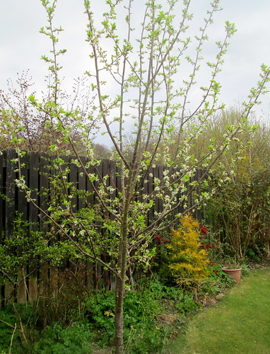 Plum Tree, my garden