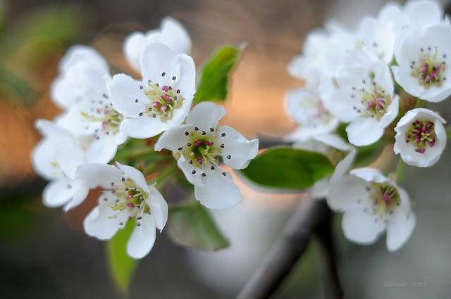 Pear blossoms/ Kwiaty gruszy