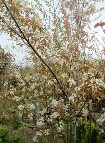 Amelanchier Tree , my garden
