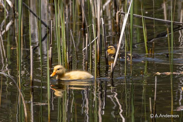 Mallard Duckling 20210502 LittlePaxton