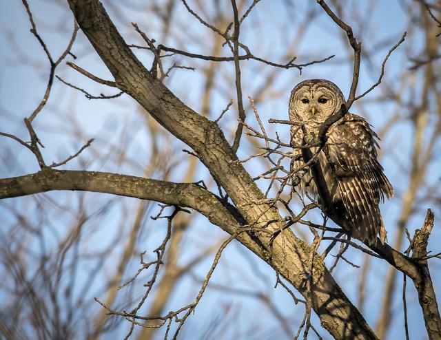 Barred Owl......