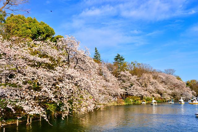 櫻的季節(DSC_3347)