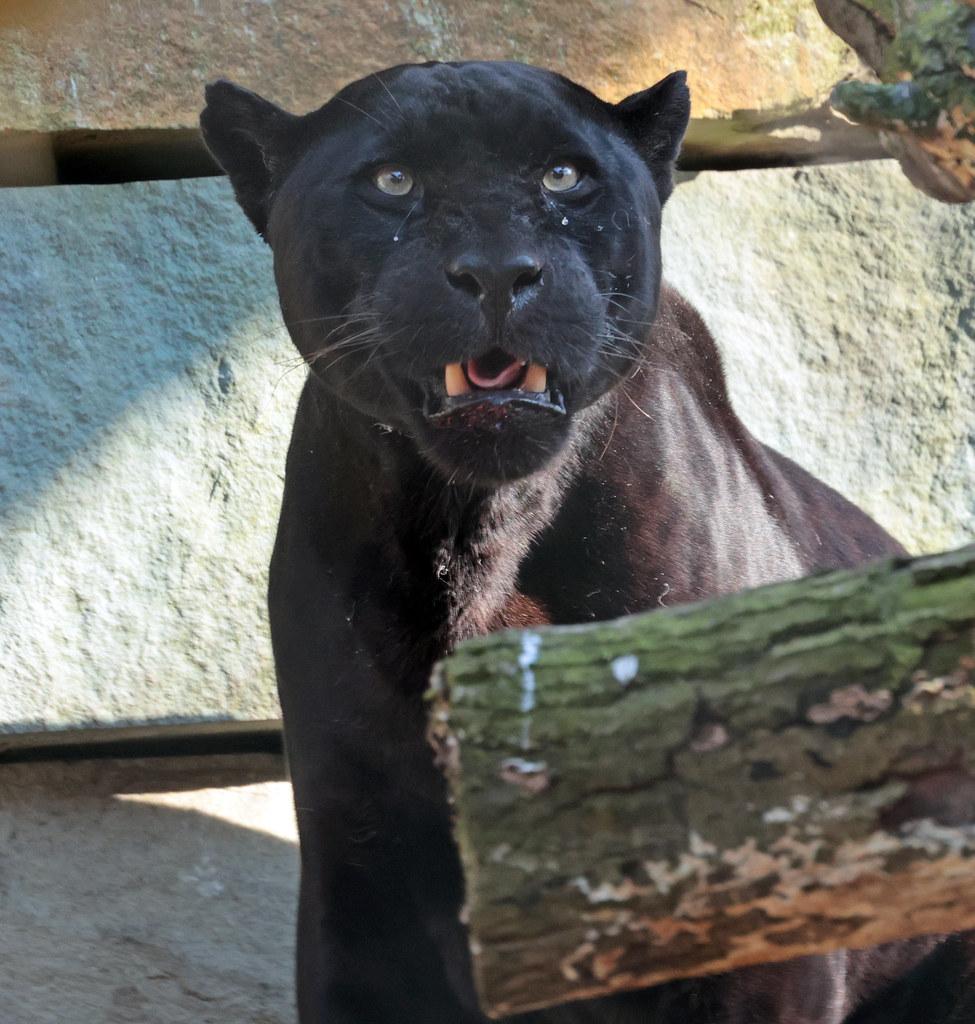 Jaguar Mowgli artis 9K2A2020