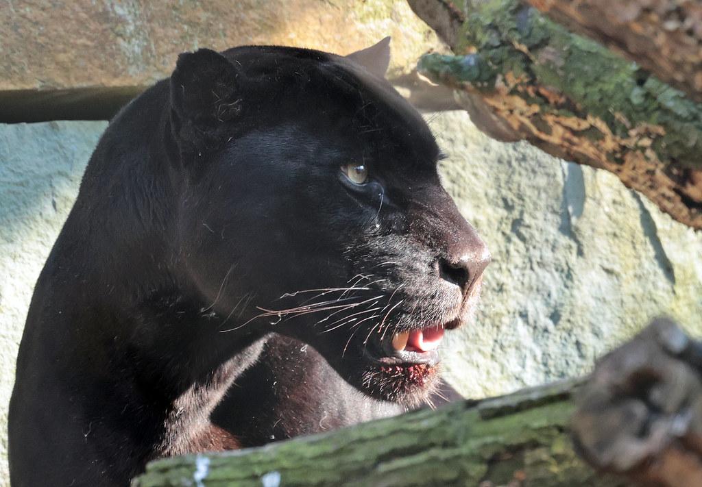 Jaguar Mowgli artis 9K2A2029