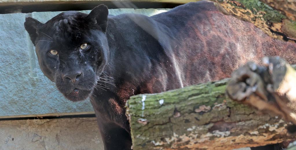 Jaguar Mowgli artis 9K2A2059