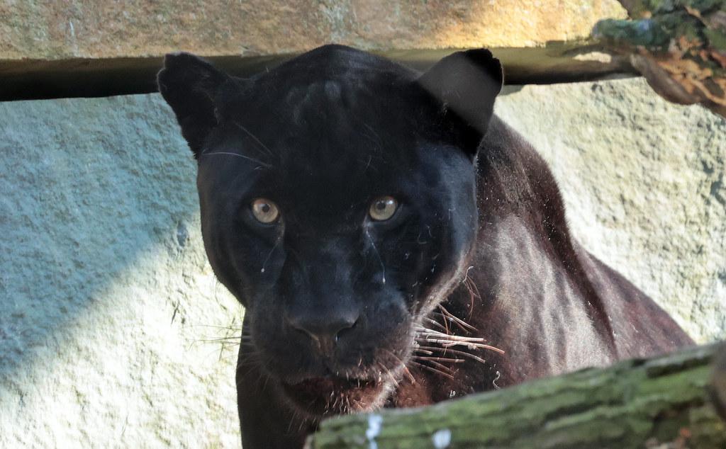 Jaguar Mowgli artis 9K2A2045