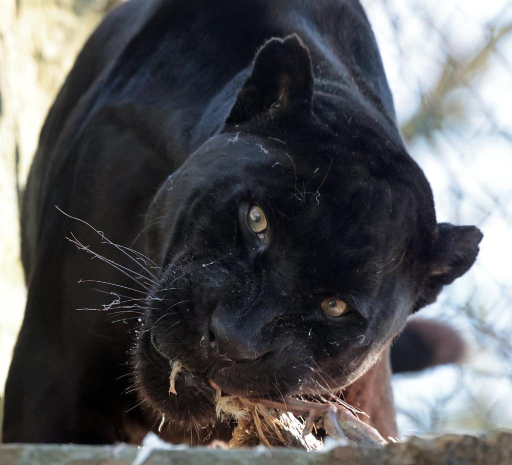 Jaguar Mowgli artis 9K2A2174