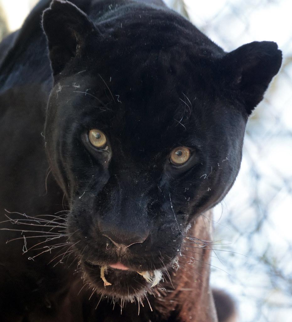 Jaguar Mowgli artis 9K2A2190
