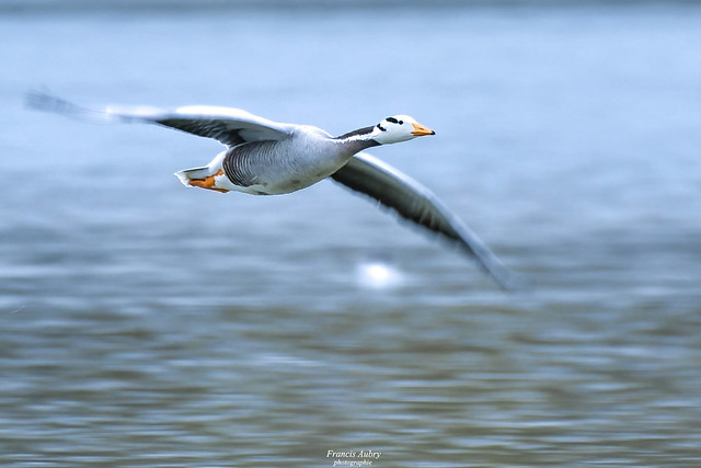 Oie à tête barrée (Anser indicus) Bar-headed Goose