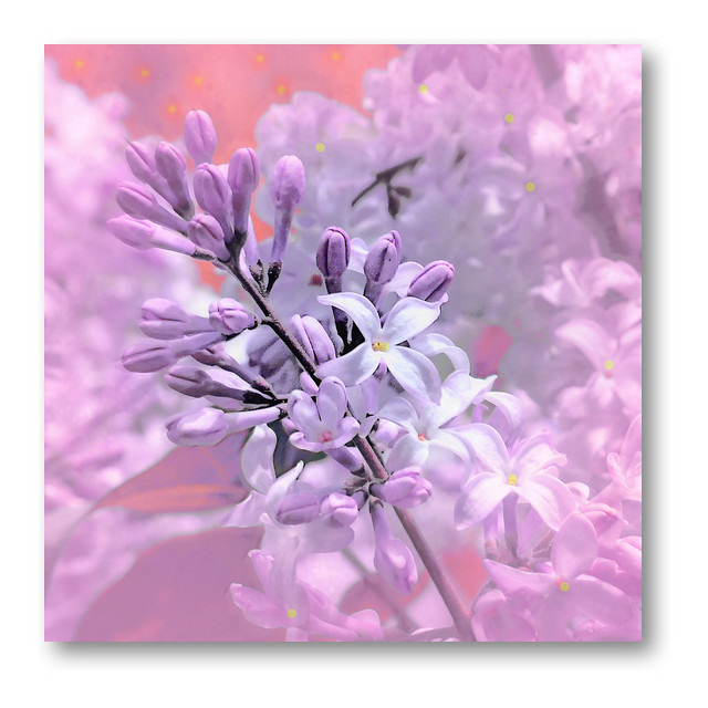 Lilac in the garden