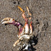 Leftover crab