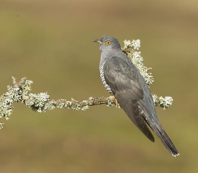 Cuckoo  Thursley Common Surrey April 2021