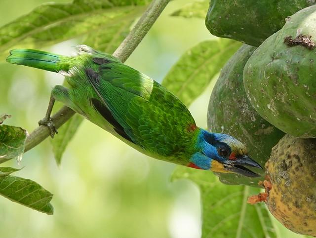 五色鳥, Five-colored bird, Taiwan Barbet, Megalaima nuchalis, 土城彈藥庫, Taipei, Taiwan, 0502, 2021