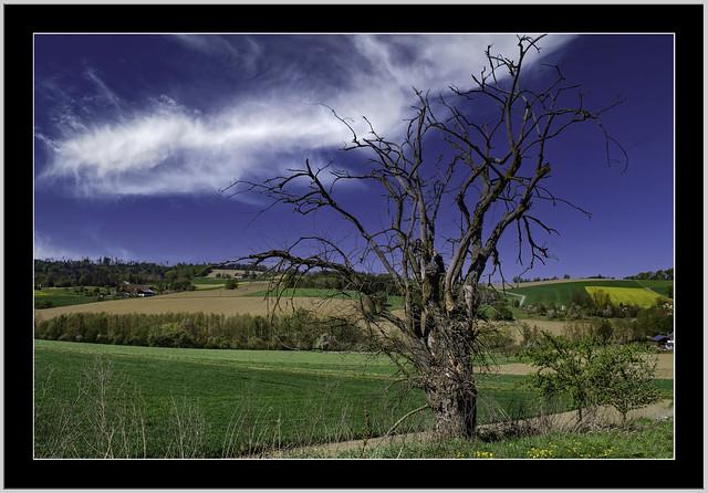 Landschaft bei Tiersbach/Ortenburg.  Der Frühling erwacht mit frischen grün, bei diesem Baum nicht mehr... Totholz !